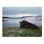 Bisonte que descansa por el río Yellowstone con ni Postal