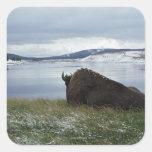 Bisonte que descansa por el río Yellowstone con Calcomanías Cuadradas