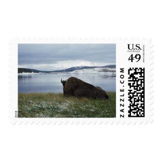 Bisonte que descansa por el río Yellowstone con Sellos