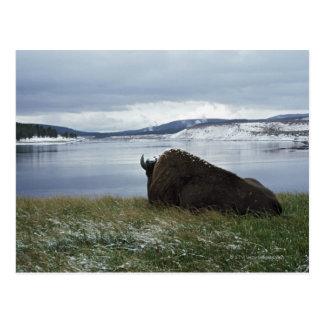 Bisonte que descansa por el río Yellowstone con Tarjetas Postales