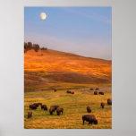 Bisonte que pasta en la colina en el valle de Hayd Impresiones