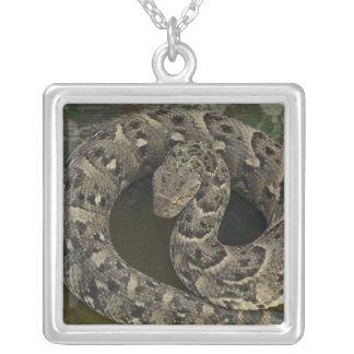 Bitis africano de la Soplo-serpiente del Collar Plateado