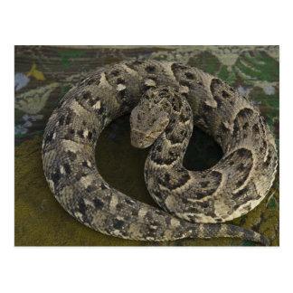 Bitis africano de la Soplo-serpiente del encantado Tarjeta Postal