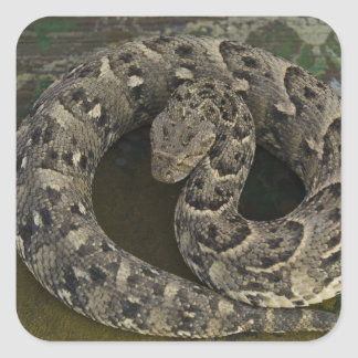 Bitis africano de la Soplo-serpiente del Calcomanías Cuadradas Personalizadas