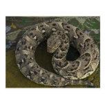 Bitis africano de la Soplo-serpiente del Tarjetas Postales