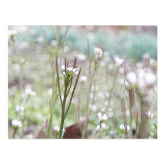 Bittercress Weed Going To Seed Postcard