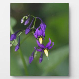 Bittersweet nightshade (Solanum dulcamara) Plaque