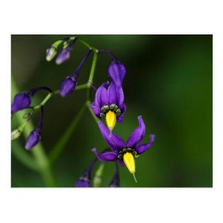 Bittersweet nightshade (Solanum dulcamara) Postcard