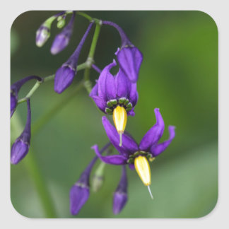 Bittersweet nightshade (Solanum dulcamara) Square Sticker