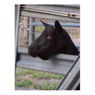 Black alpine goat doe waiting at metal gate postcard