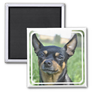 Black and Brown Chihuahua Magnet Fridge Magnets