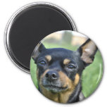 Black and Brown Chihuahua Magnet Fridge Magnet