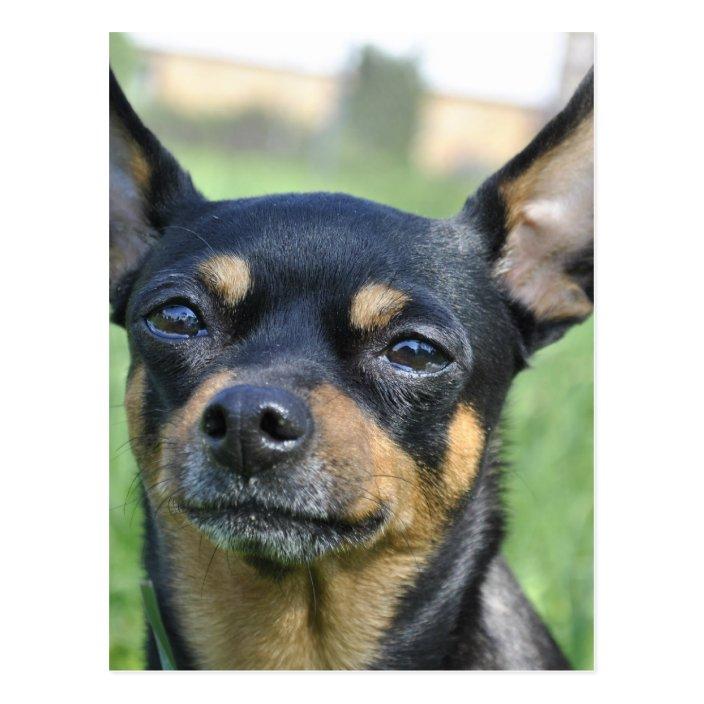 Black And Brown Chihuahua Postcard Zazzle Com