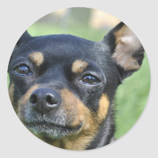 Black and Brown Chihuahua Stickers