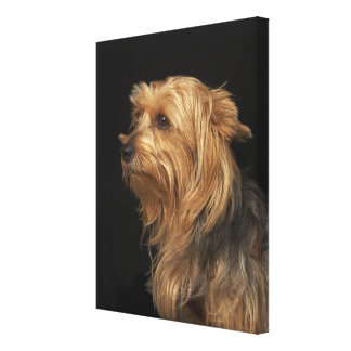 Black and brown Yorkie left profile on black Canvas Print