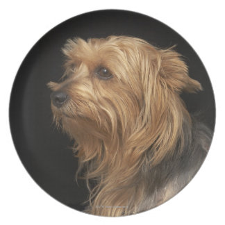 Black and brown Yorkie left profile on black Plate