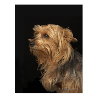 Black and brown Yorkie left profile on black Postcard