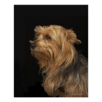 Black and brown Yorkie left profile on black Poster