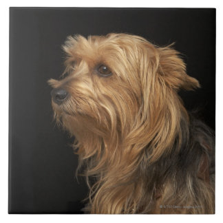 Black and brown Yorkie left profile on black Tile