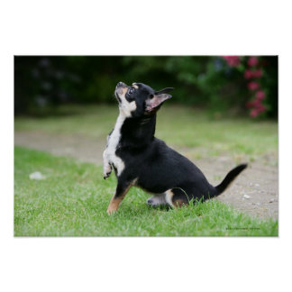 Black and Cream Chihuahua Poster