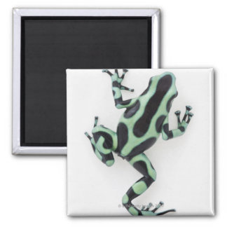 Black and Green Poison Dart Frog 2 Magnet