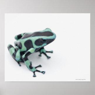 black and green poison dart frog (dendrobates poster