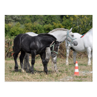 Black and grey Percheron foal in France Postcards