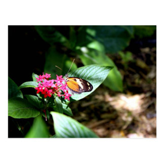 Black and Orange Butterfly Postcard