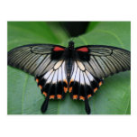 Black and Pink Swallowtail Butterfly Postcard