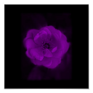 Black and Purple Rose. Poster