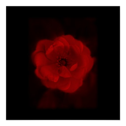 Black and Red Rose. Poster