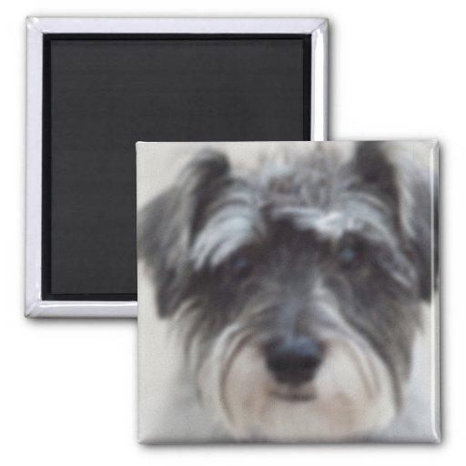 Black and Silver Schnauzer Square Magnet
