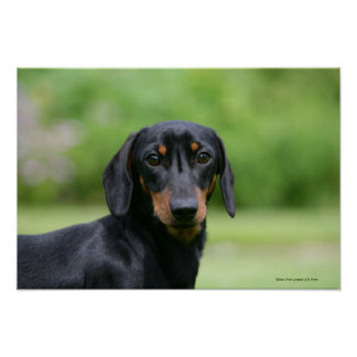 Black and Tan Miniture Dachshund 1 Poster