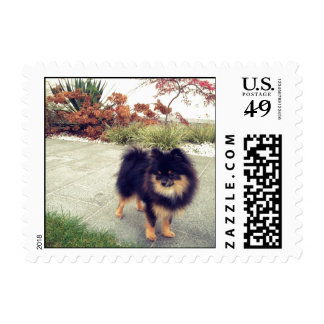 Black and Tan Pomeranian Postage