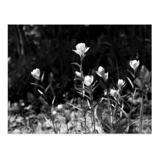 Black and White Alpine Flowers Postcard