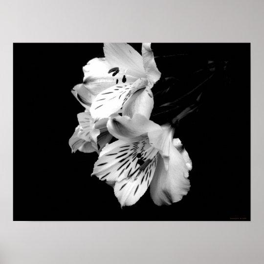 Black and White Alstroemeria Lily Poster