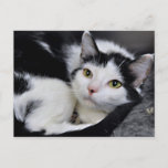 Black and White American Shorthair Cat Postcards