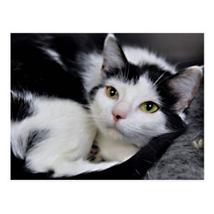 American Shorthair Cat Black And White