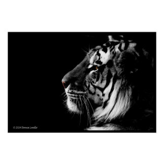 Black and White Amur Tiger Poster