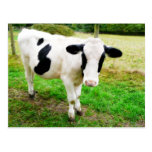 Black and White Apostrophe S Cow Post Card