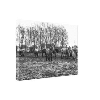 Black and White Belgian Draft Horses Canvas Print