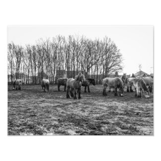 Black and White Belgian Draft Horses Photographic Print