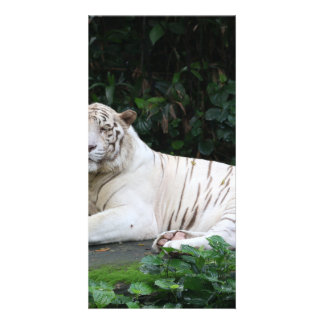 Black and White Bengal Tiger relaxed and smiling Card