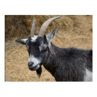 Black and White Billy Goat Postcard