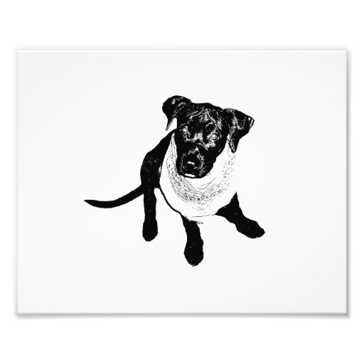 Black and White Black Lab Puppy image Photograph