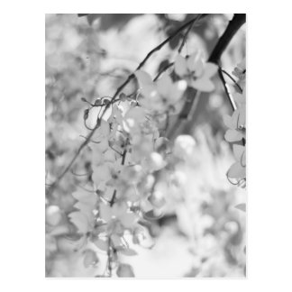Black and White Blossom Branch Postcard