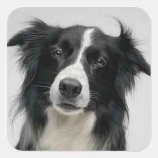 Black And White Border Collie Puppy Dog Square Sticker