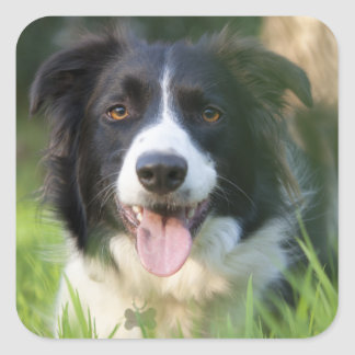 Black And White Border Collie Puppy Dog Stickers