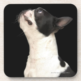 Black and white Boston Terrier looking up Beverage Coaster