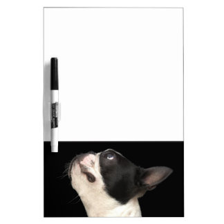 Black and white Boston Terrier looking up Dry-Erase Board